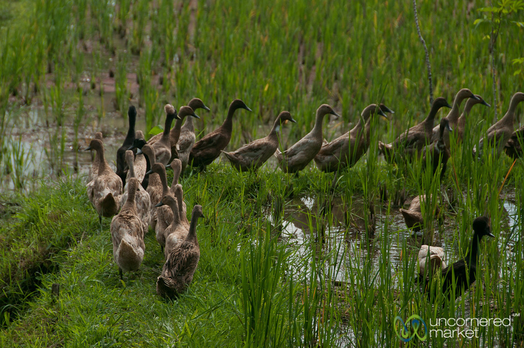 Ducks in Rice Fields - Ubud, Bali