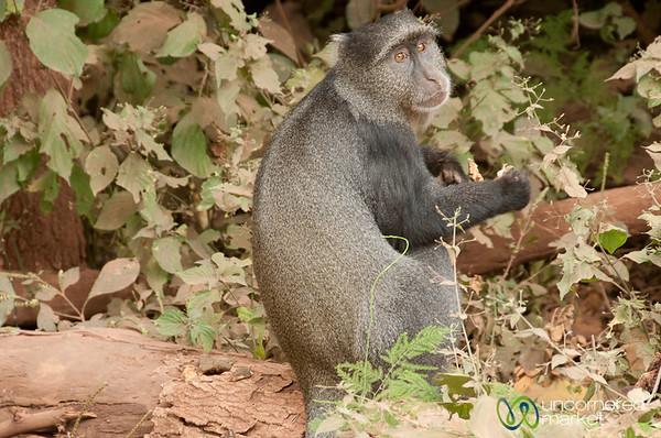 Colobus Monkey - Lake Manyara, Tanzania