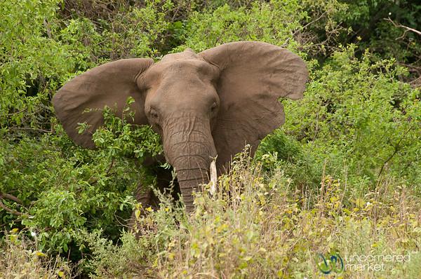 Elephant with Big Ears - Lake Manyara, Tanzania