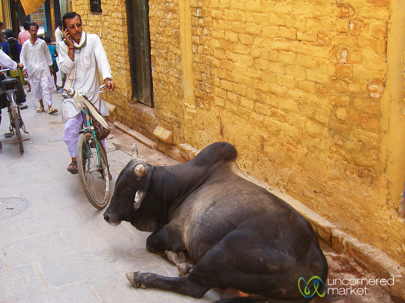 Watch Out for the Cow - Varanasi, India