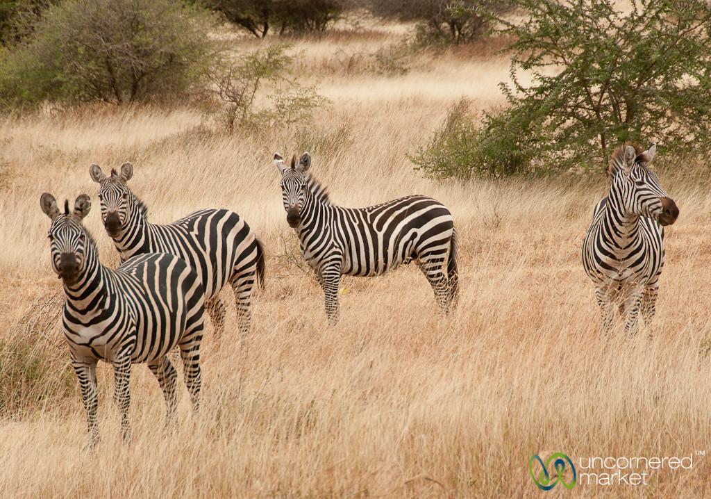Zebras at Attention - Lake Manyara, Tanzania