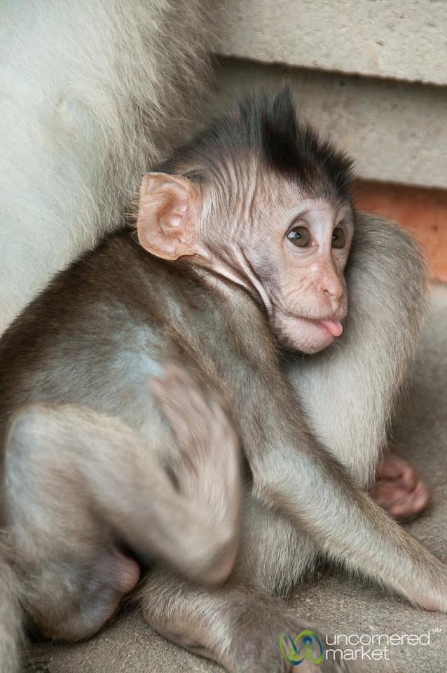 Baby Monkey with Tongue Out - Ubud, Bali