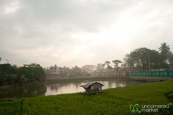 Rice Fields Between Khulna and Rajshahi - Bangladesh