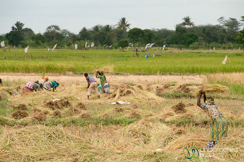 Rice Harvest Time - Mto wa Mbu, Tanzania