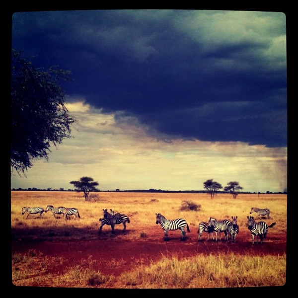 Zebras on Serengeti Plains - Tanzania