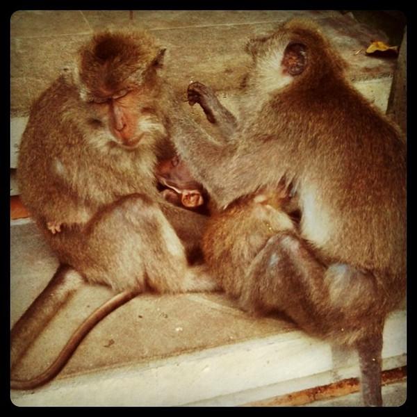 Mother monkeys grooming each other - Sacred Monkey Forest, Ubud, Bali