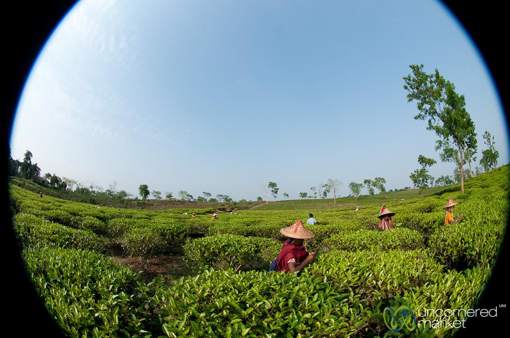 Fisheye View of Tea Pickers - Srimongal, Bangladesh