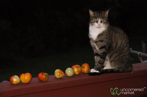 Kitty with a Tomato Liking - Ithaca, New York