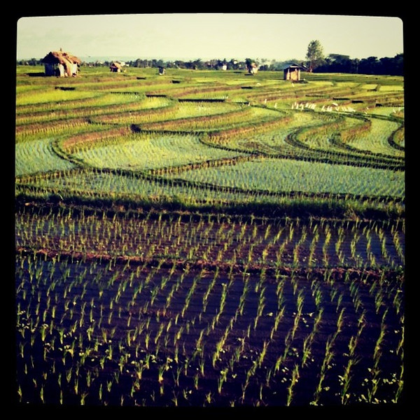 Late afternoon at terraced rice fields - #Bali