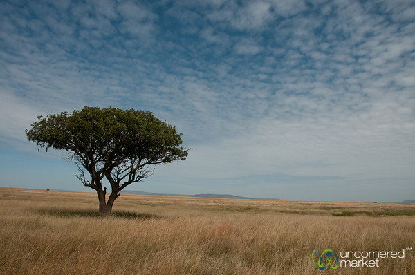 Acacia Tree on Serengeti - Tanzania