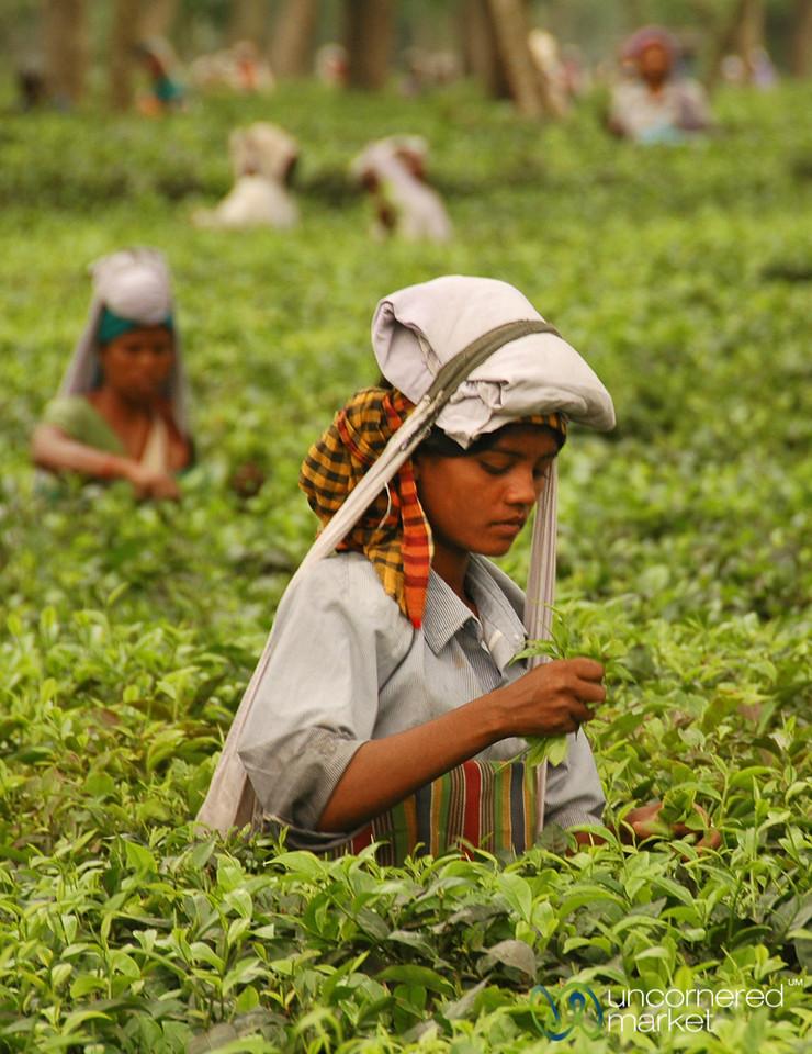 Carefully Picking Tea Leaves - West Bengal, India