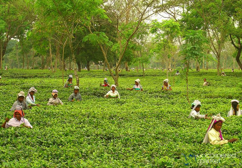 Picking Tea in West Bengal, India