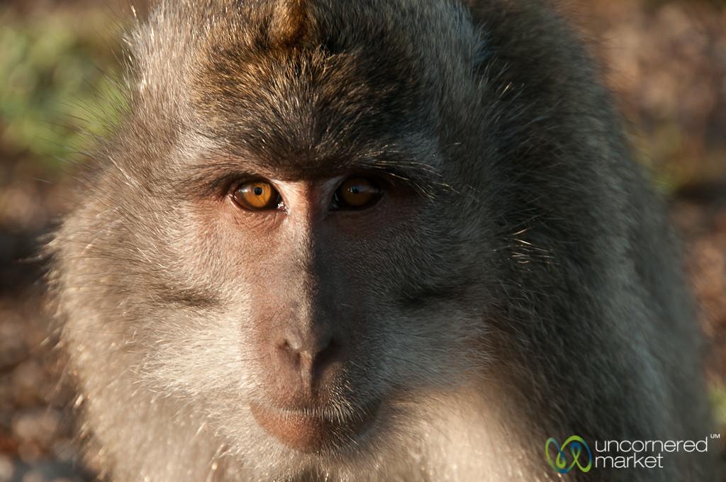 Monkey Glare - Mt. Batur, Bali