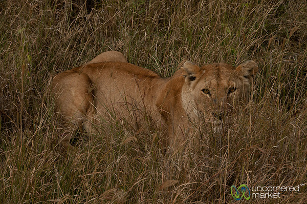 Lion Hiding in the Grass - Serengeti, Tanzania