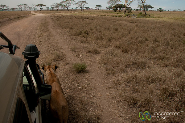 Lion Walking By Our Jeep - Serengeti, Tanzania