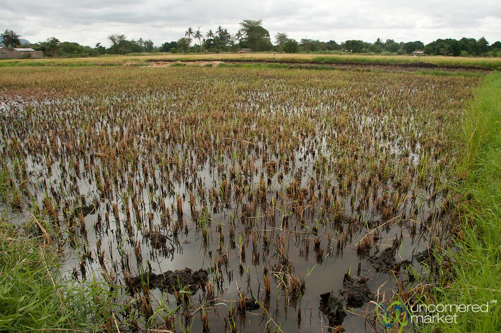 Flooded Rice Field - Mto wa Mbu, Tanzania