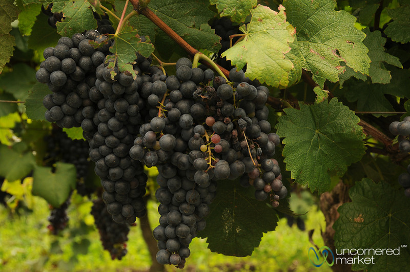 Ripening Grapes at Juanico Winery - Uruguay