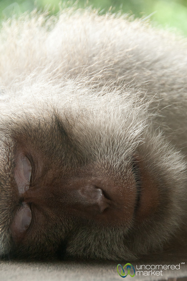 Monkey Sleeping - Ubud, Bali