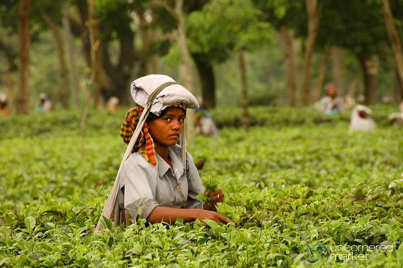 Tea Leaf Picking - West Bengal, India