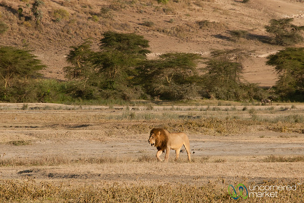 Male Lion at Ngorongoro Crater - Tanzania