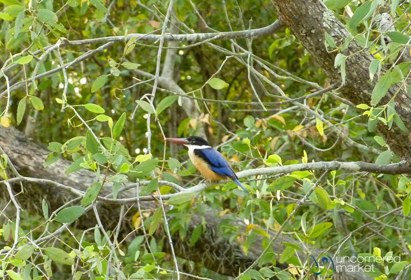 Kingfisher in Sundarbans, Bangladesh