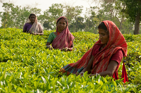 Tea Pickers at Finlay Tea - Srimongal, Bangladesh