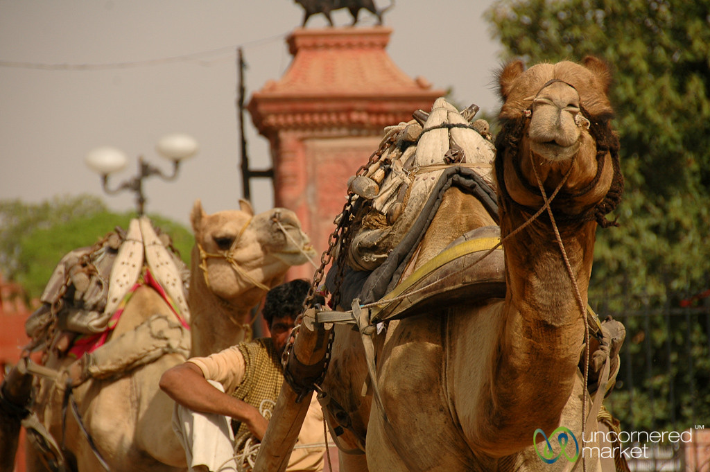 Camels on the Go in Bikaner, India