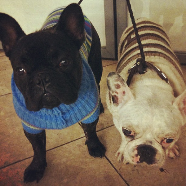 French bulldogs in snazzy sweaters. Welcoming committee, #Prague