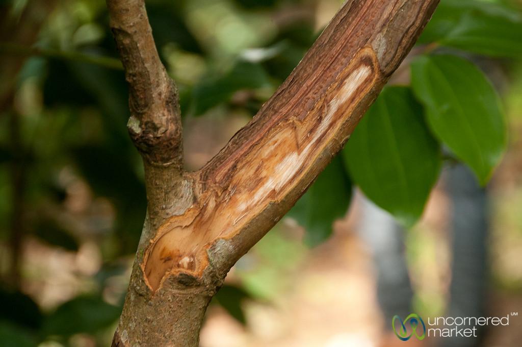 Cinnamon Bark Direct from Tree - Spice Tour, Zanzibar