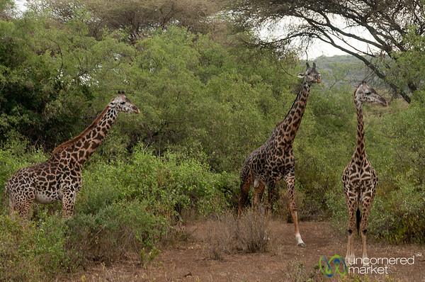 Giraffe Family - Lake Manyara, Tanzania