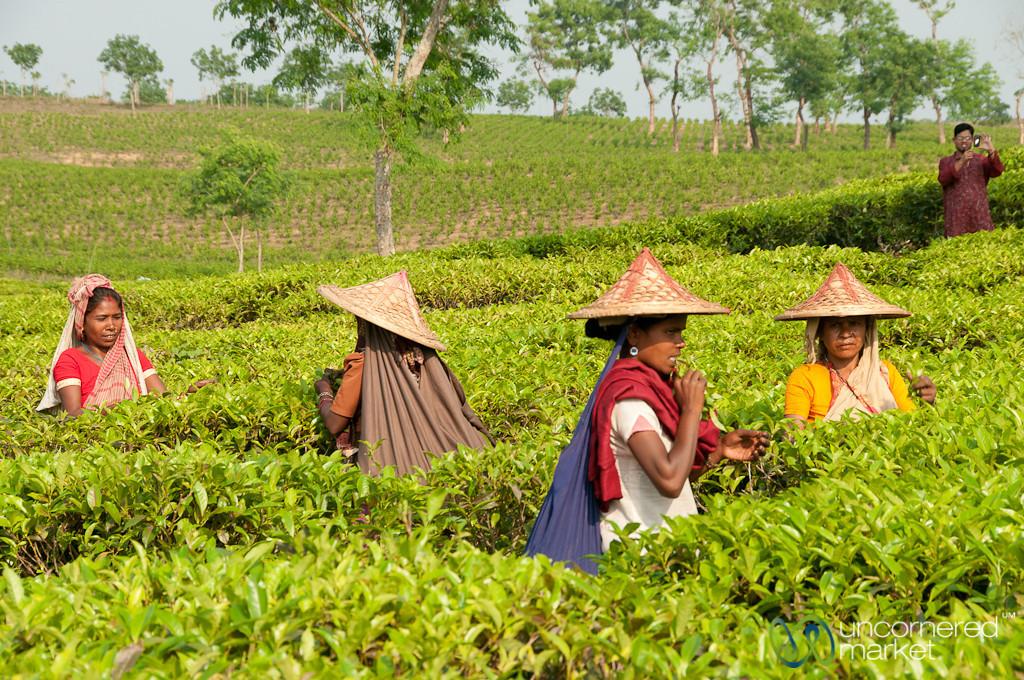 Tea Pickers Tasting Tea Leaves - Srimongal, Bangladesh