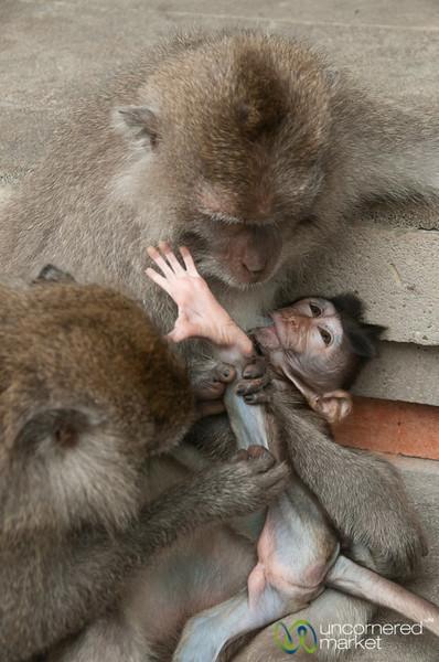 Monkey Baby Preening - Ubud, Bali