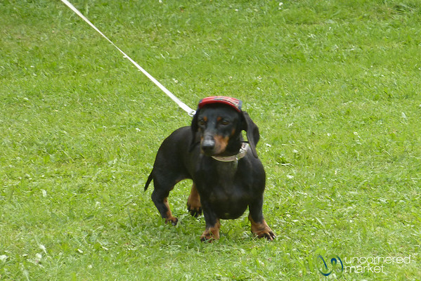 Dachshund Races, Dog in Hat - Berlin