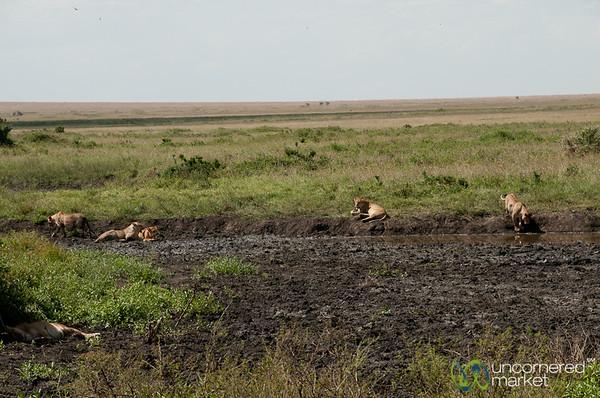 Lions Gathered by Water - Serengeti, Tanzania