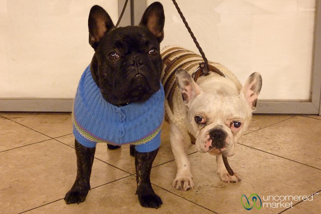 French Bulldogs in Sweaters - Prague, Czech Republic