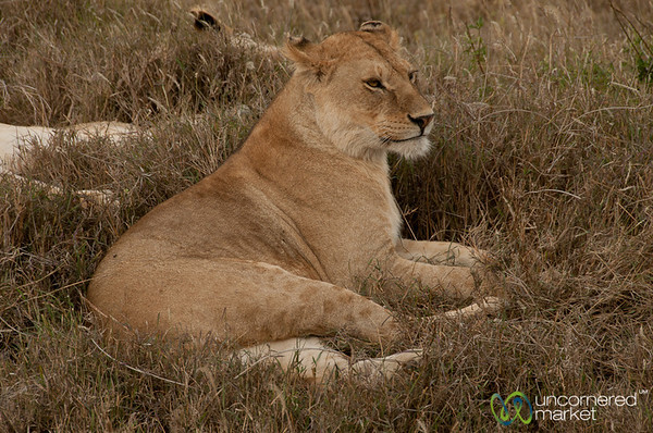Lion in the Serengeti - Tanzania