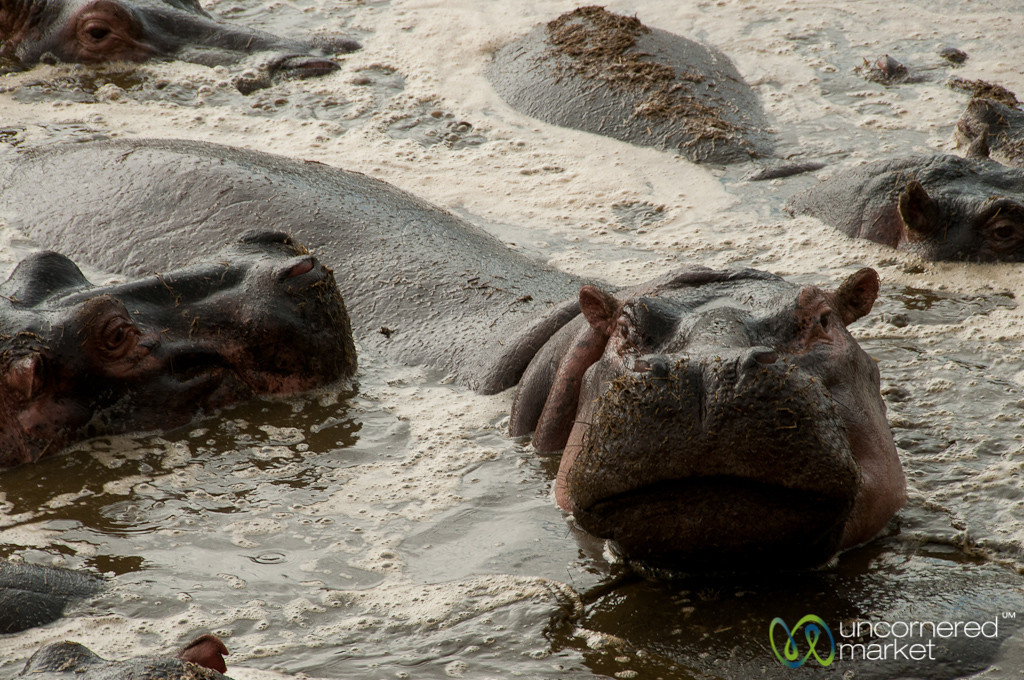 Hippo Smile? Serengeti, Tanzania