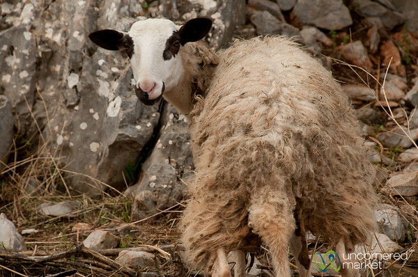 Sheep Near Lassithi Platea in Crete, Greece