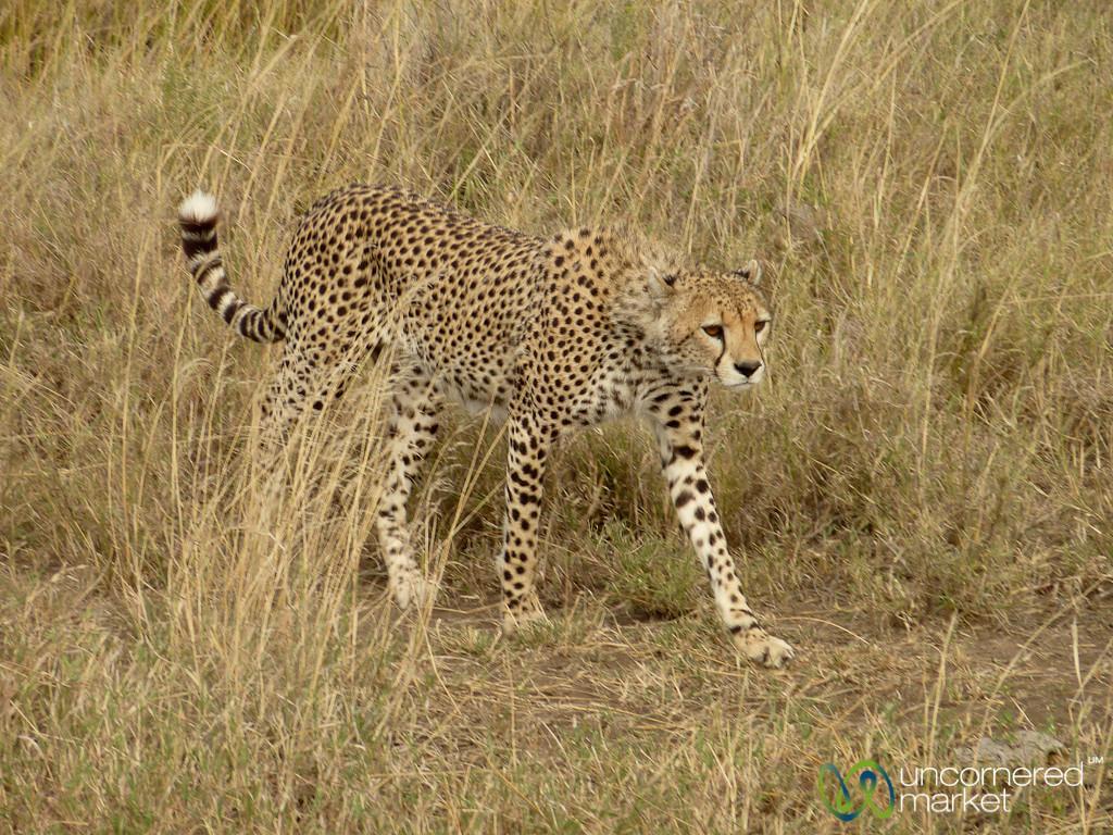 Cheetah Walking Through Tall Grass - Serengeti, Tanzania