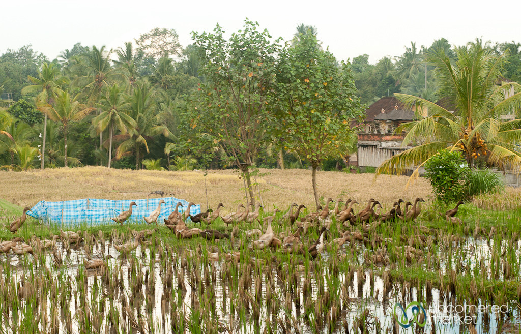 Ducks in the Rice Field Outside Ubud, Bali