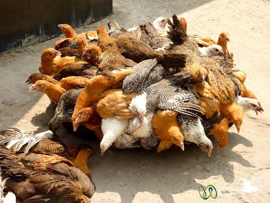 Portable Chicken Market - Old Dhaka, Bangladesh