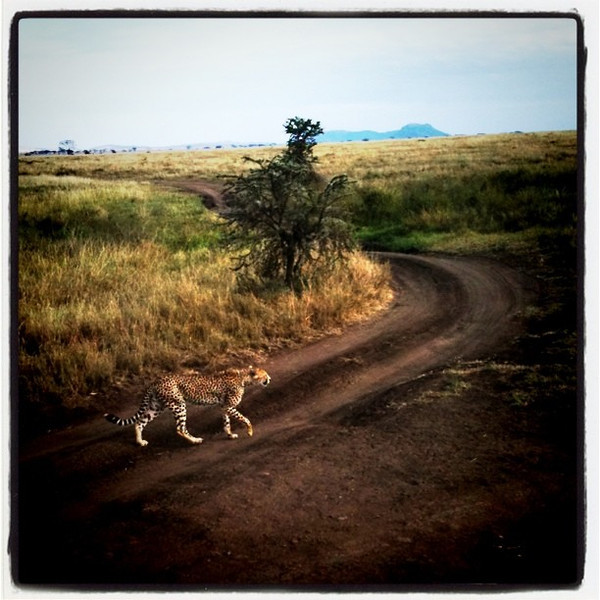 Cheetah Crossing Road in Serengeti - Tanzania
