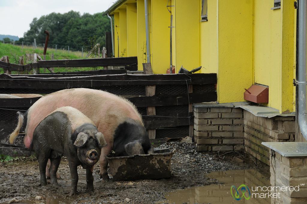 Pigs in the Mud - Czech Republic