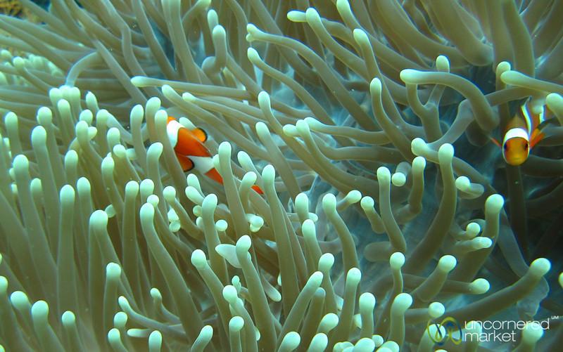 Clown Fish Play in Sea Anenome - Menjangan Island, Bali