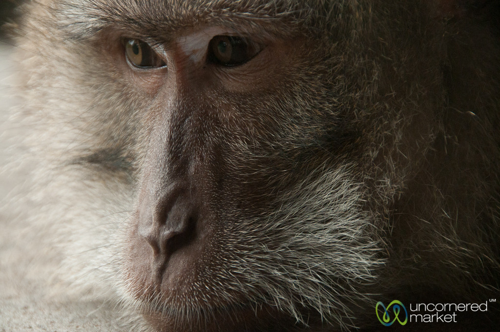 Monkey Close Up - Ubud, Bali