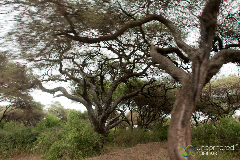 Lake Manyara Park Trees - Tanzania