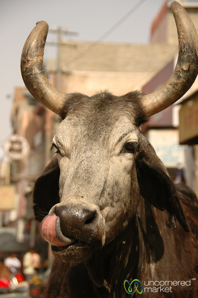 Licking His Chops - Bikaner, India