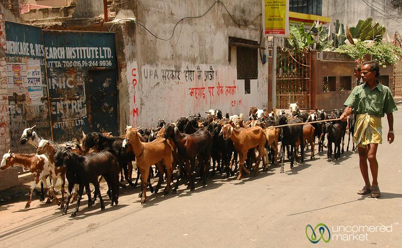 Herding Goats on the Streets of Kolkata, India