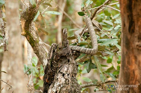 Cobra in the Tree - Sundarbans, Bangladesh