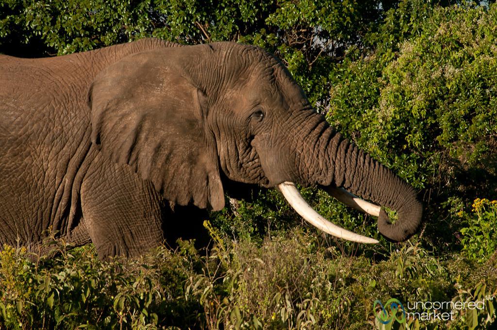 Elephant Eating Evening Snack - Ngorongoro Crater, Tanzania